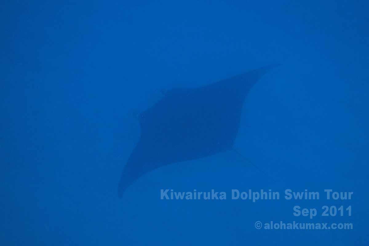 海底でヒラヒラと泳ぐマンタ