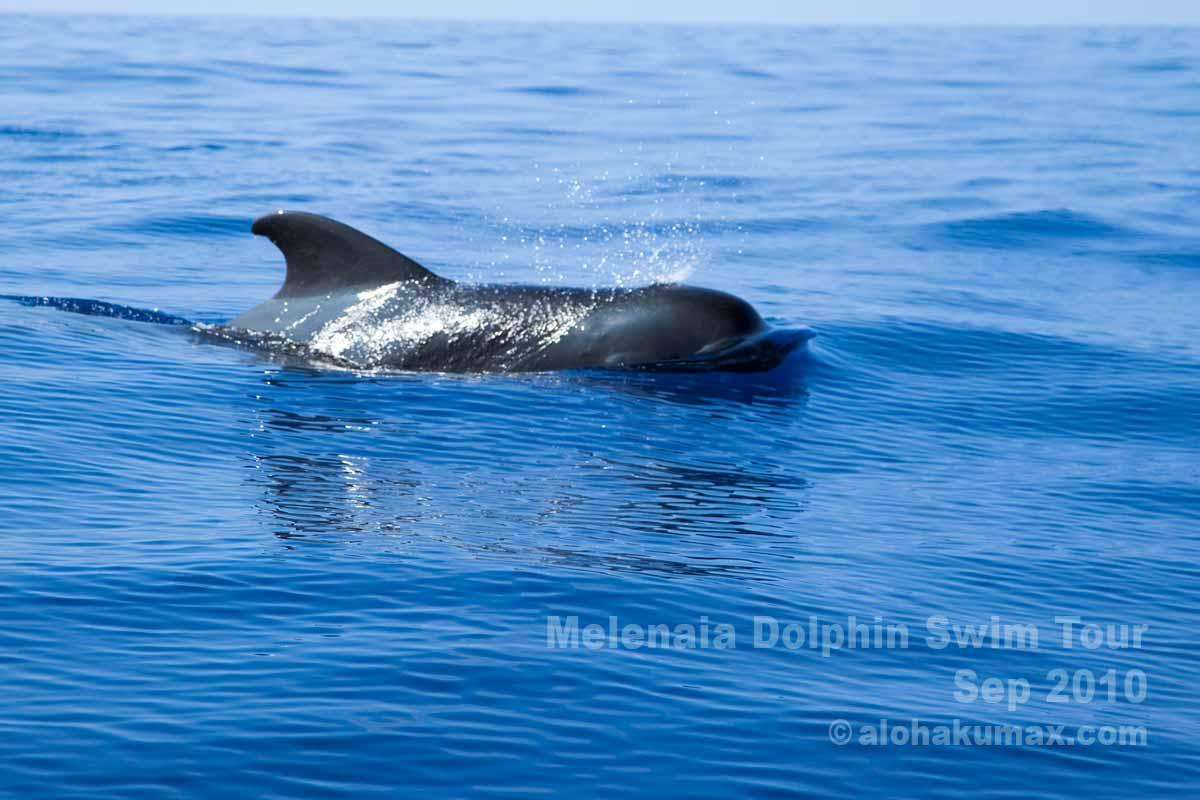 コビレゴンドウクジラ その1