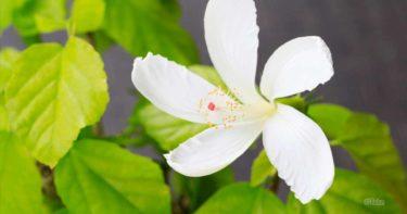 栽培方法や普段のお世話  / ハワイ原種ハイビスカスを育てよう!