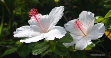種類と入手ルート / ハワイ原種ハイビスカスを育てよう!