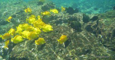 ケアラケクア湾 » ハワイ島で一番!抜群の透明度を誇る海
