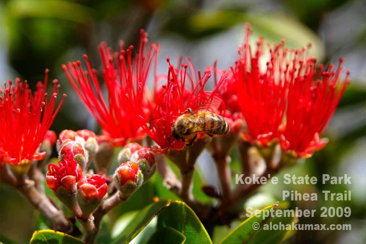レフアとミツバチ