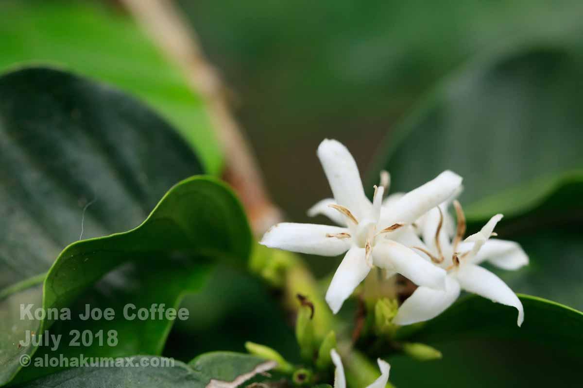 コナスノー(コナコーヒーの花)