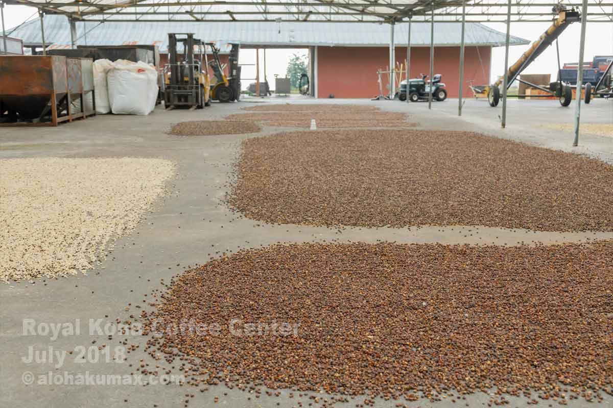 コーヒー豆、乾燥中