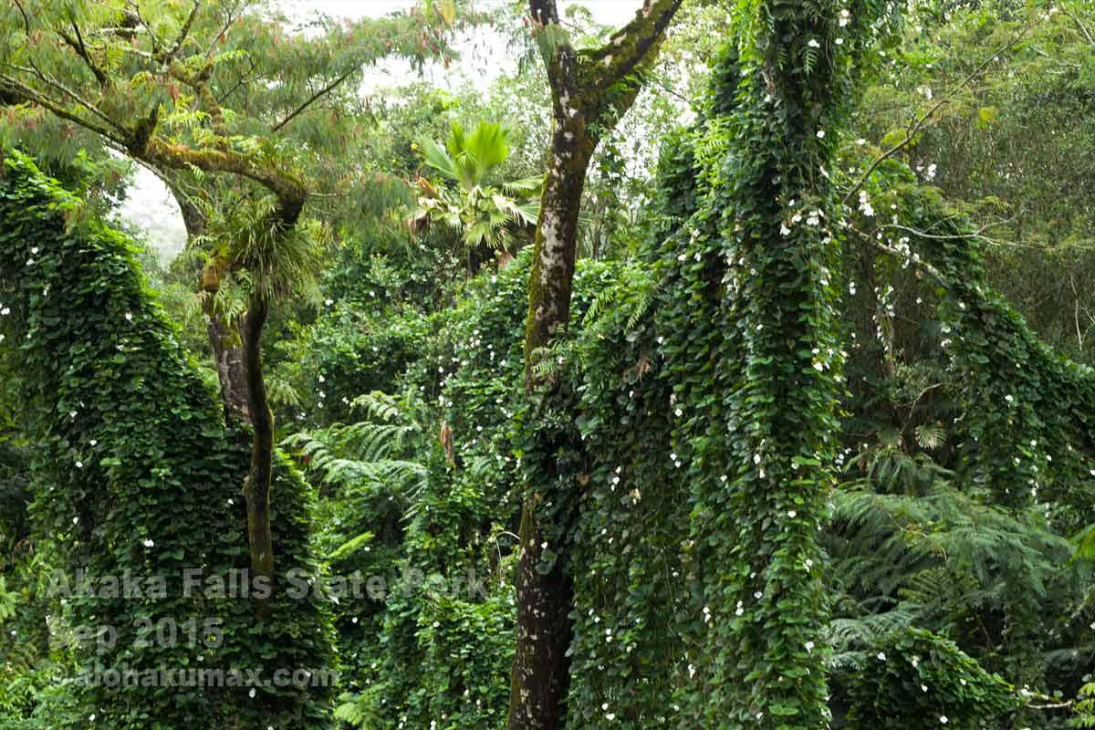 巨大な樹木に生い茂る蔦