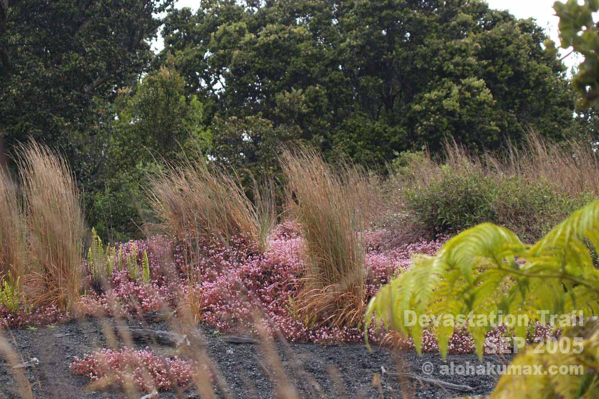 ヒメツルソバが咲き乱れている