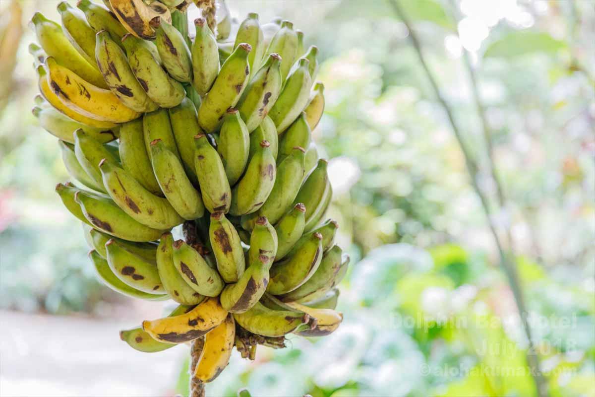 吊られたバナナ