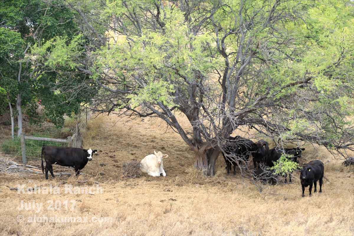 牧場でくつろぐ牛たち