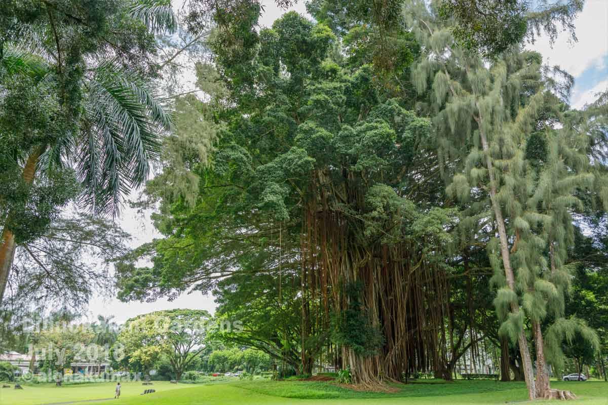 大きなバニヤンツリー