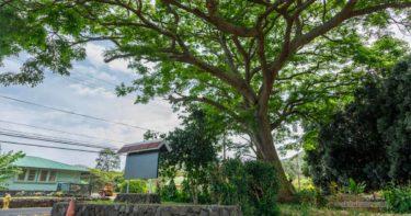 マーク・トウェイン・モンキー・ポッド・ツリー » あの有名作家が植えた木 / ハワイ島 ナアレフ