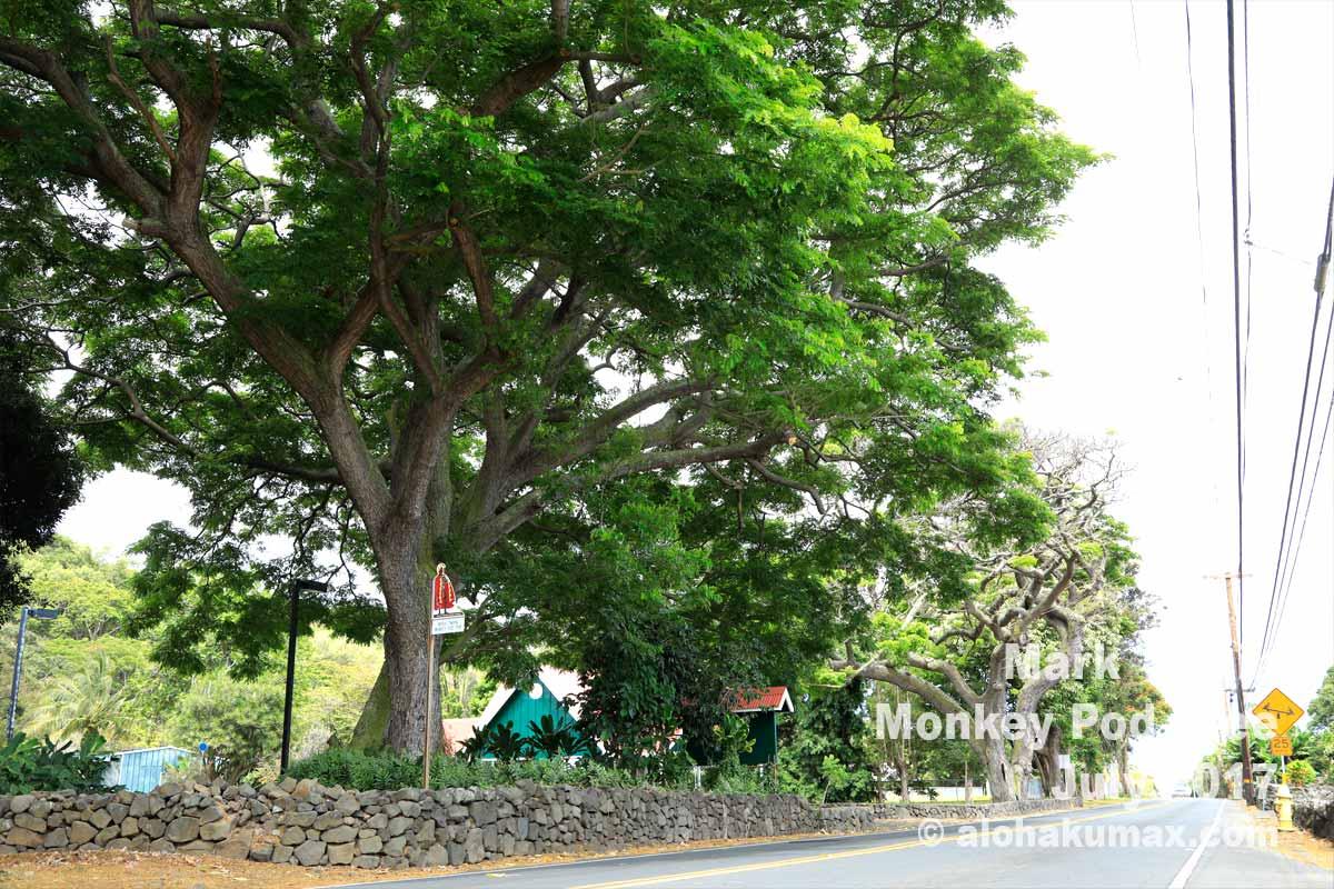 マークトウェインが植えたモンキーポッドの木(11号線沿い)