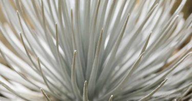 銀剣草を観察しよう! » 葉が美しい 希少な絶滅危惧種 / マウナ・ケア ハワイ島