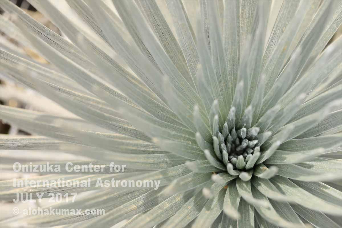 銀剣草の葉