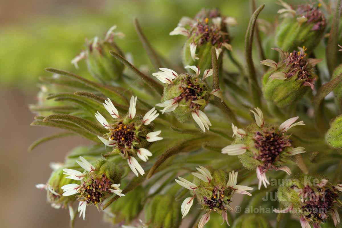 銀剣草の花