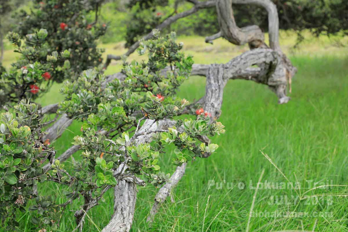 オヒアとレフアの花