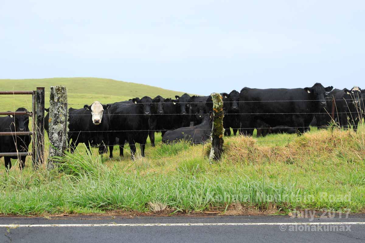コワイ雰囲気の牛さんたち