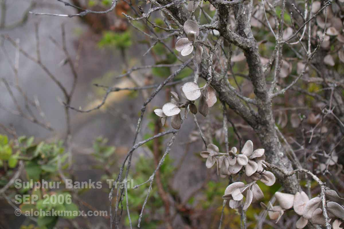 立ち枯れのオヒアの木