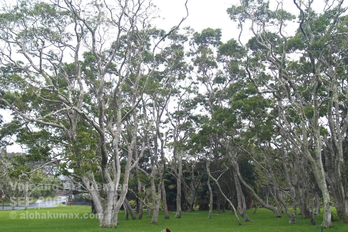 お庭のコアの木