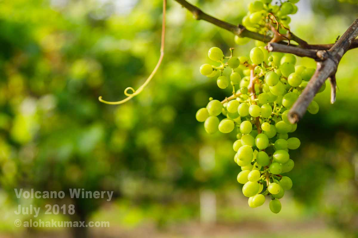 ワイン用のブドウ