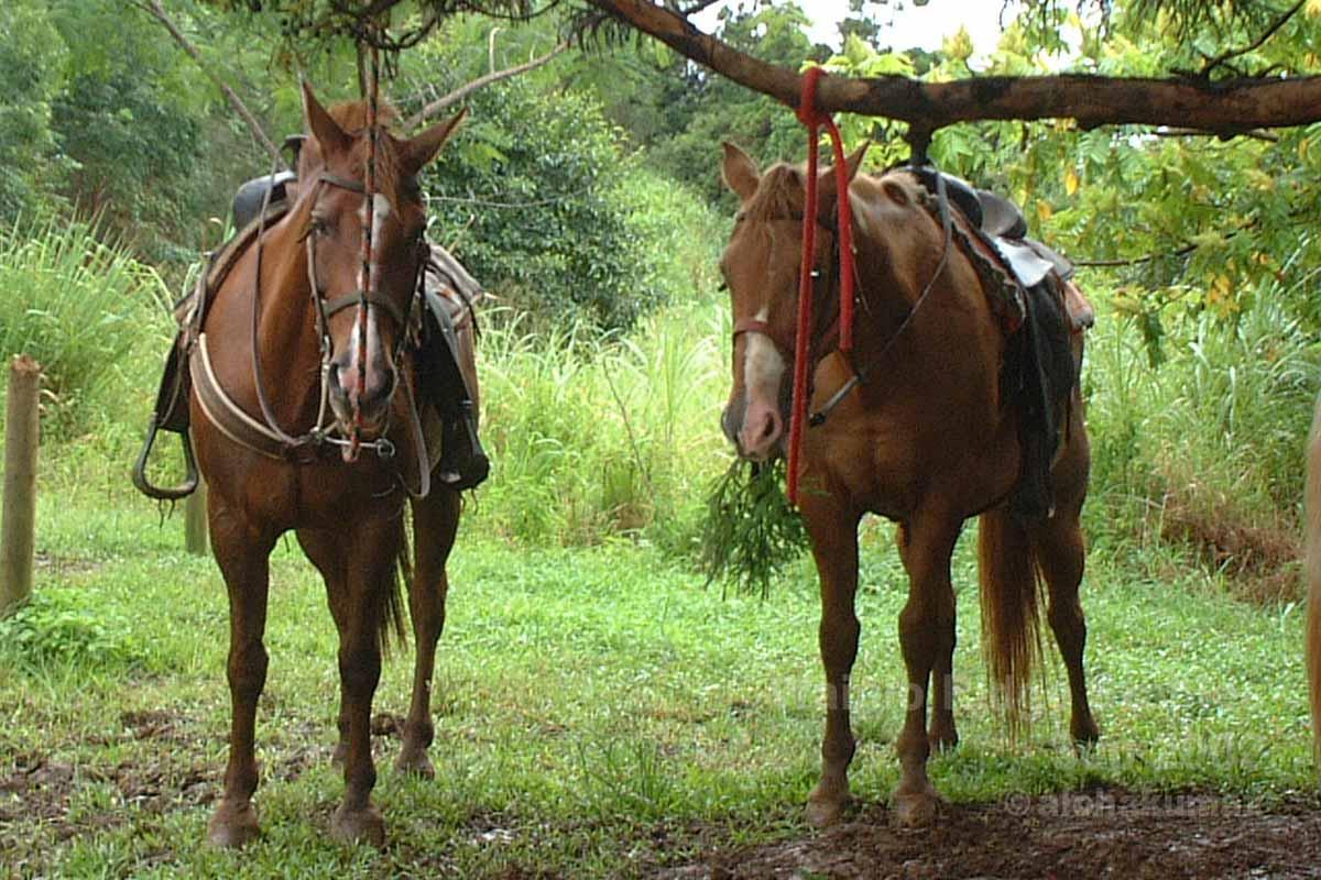 馬は木に繋いでいます