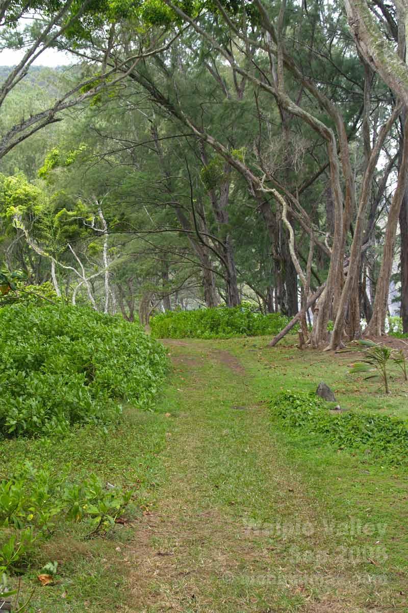 アイアンウッドの林