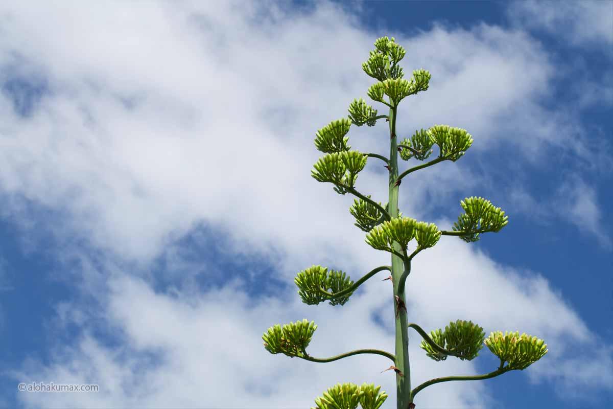 リュウゼツランの花芽