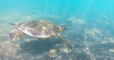 カハルウ・ビーチ・パーク » 運が良ければウミガメと泳げる! / ハワイ島 ケアウホウ