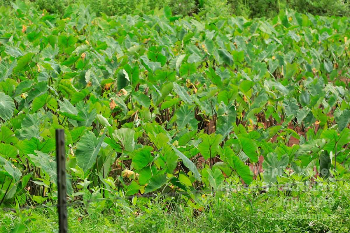 タロイモ畑