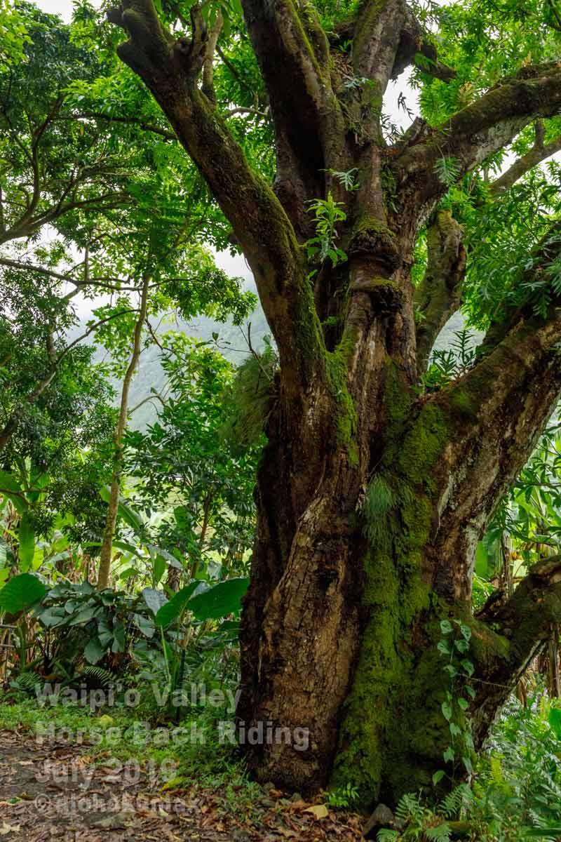 ワイピオで一番大きなマンゴーの木(?)