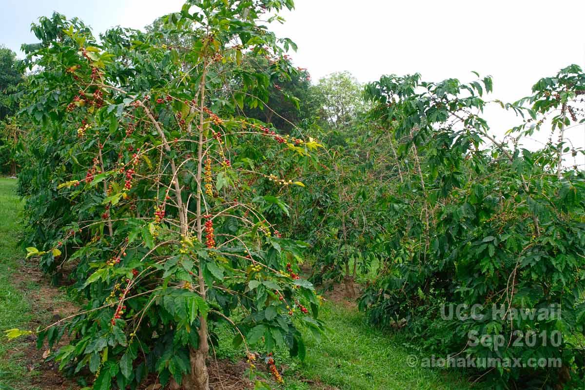 UCCハワイのコーヒー農園