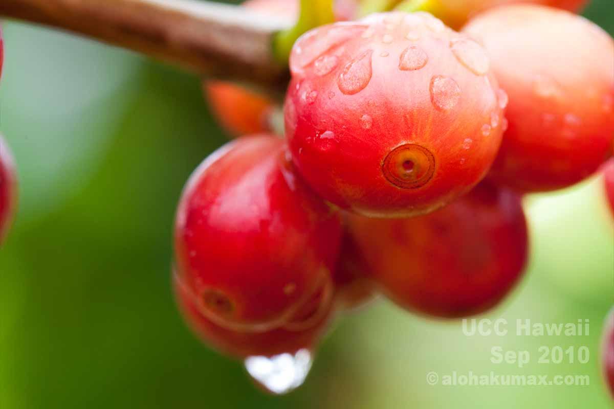 水に濡れたコーヒーの実
