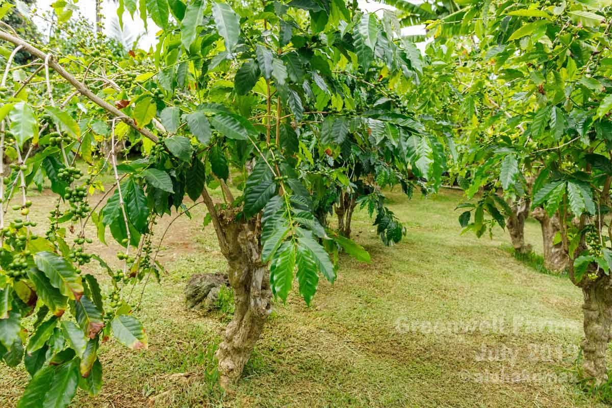 貴重なコーヒーの木