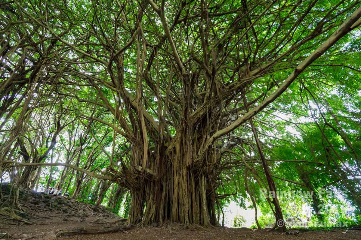 巨大なバニヤンツリー