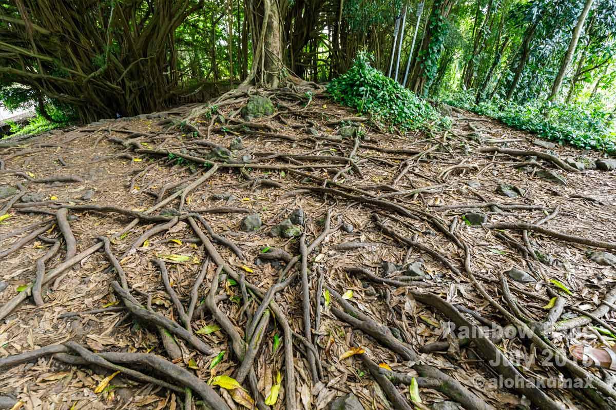 張り巡らされた木の根